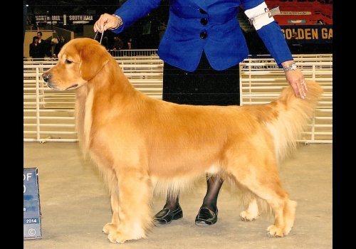 TOP USA STUD DOG Castelrock Come together  (CHUCK)